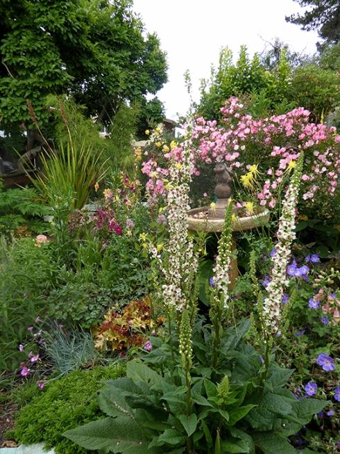 Verbascum chiaxii album  My garden 06-15 ADJ .jpg