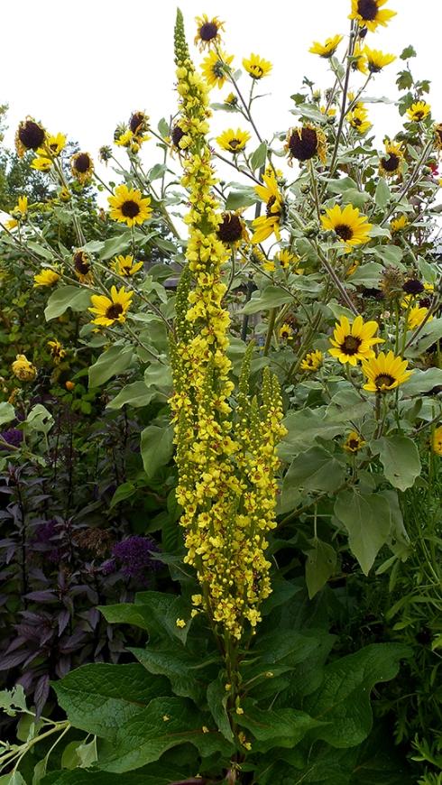 Verbascum nigrum & JapananeseSilverleaf Sunflower OCT 13b ADJ