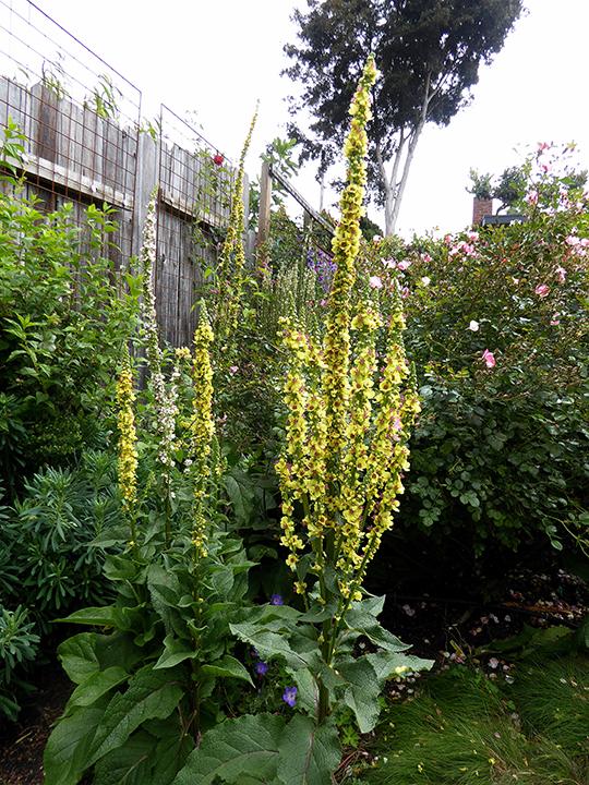 Verbascum nigrum my Garden B   06-15   ADJ