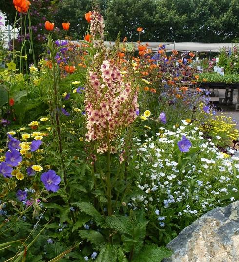 Verbascum Southern Charm  & Garden angle  BEST  ADJ & CROP