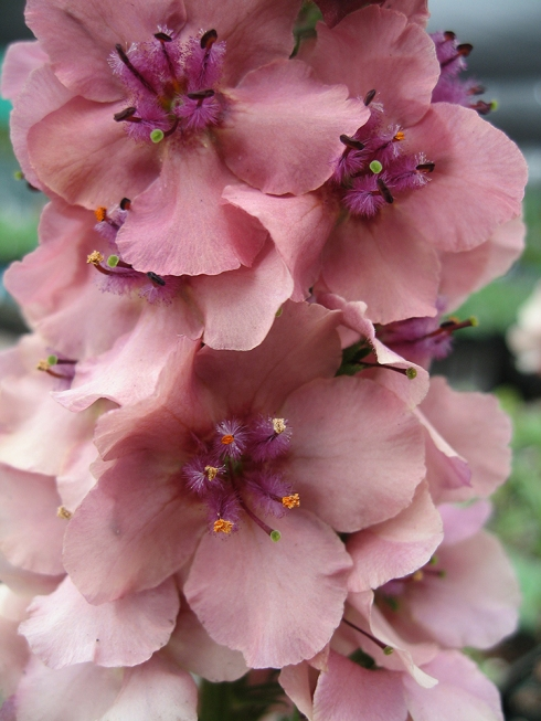 verbascum_southern_charm_rose1