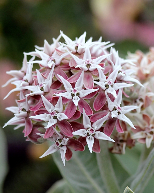 asclepias_speciosa_davis_close