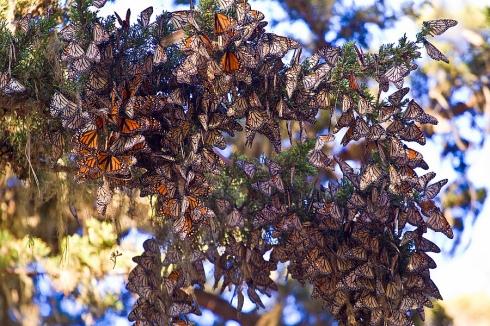 monarch_butterflies_pacific_grove