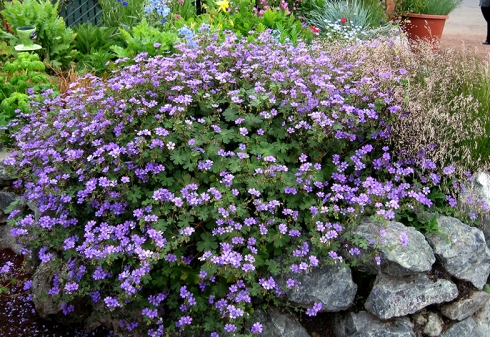 geranium_bill_wallis