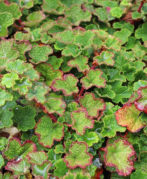 rubus_calycinoides_foliage