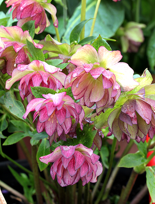 helleborus_peppermint_ice_bloom