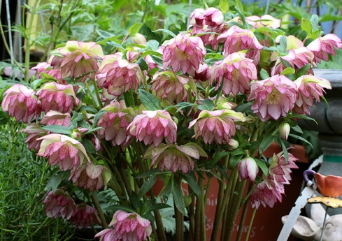 helleborus_peppermint_ice_mass