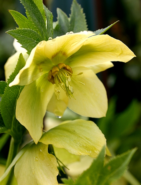 helleborus_yellow_lady_close