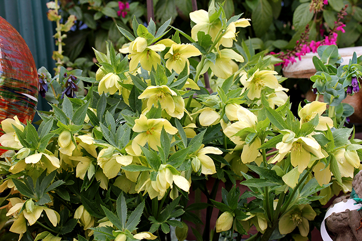 helleborus_yellow_lady_horiz